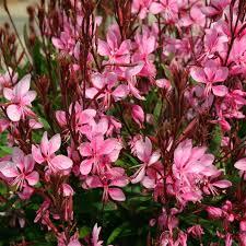 Gaura Lindheimeri Lillipop Pink - plantes-vivaces-ete