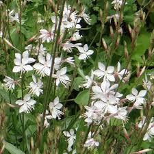 Gaura Lindheimeri Snowbird - plantes-vivaces-ete