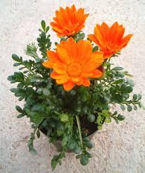 Gazania - plantes-saisonnieres
