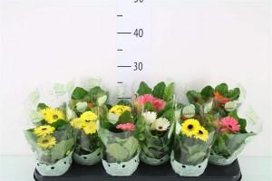 Gerbera - plantes-saisonnieres