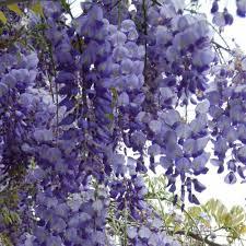 Glycine japonaise - plantes-grimpantes