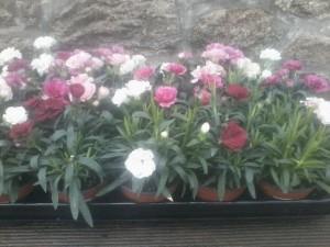 Oeillet Dianthus en mélange lot de 10 - plantes-vivaces-printemps