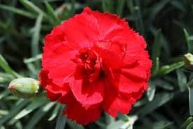 Oeillet Dianthus