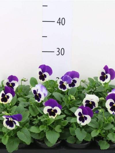 Pensée en mélange - plantes-saisonnieres