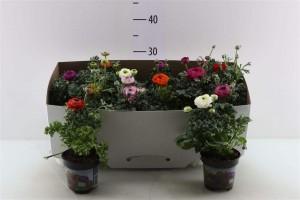 Renoncule - plantes-saisonnieres
