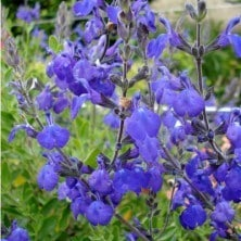 salvia blue note