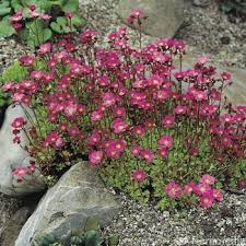 Saxifrage rouge - plantes-vivaces-printemps