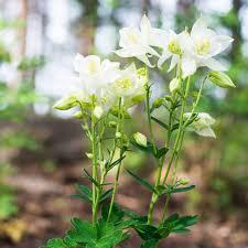 Aquilegia Caerulea (ancolie) - plantes-saisonnieres