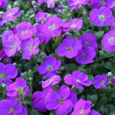 Aubriète - Aubrieta gracilis - plantes-saisonnieres