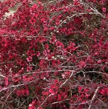 leptospermum red falls