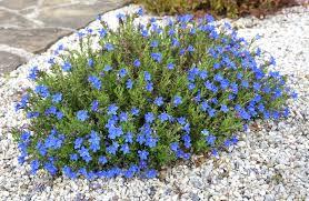 Lithodora diffusa - plantes-couvre-sols