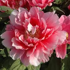 Pivoine Arbustive - plantes-vivaces