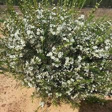 Wax flor - plantes-saisonnieres