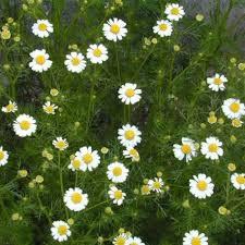 Anthémis - plantes-saisonnieres