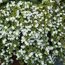 Bacopa Snowflake - plantes-saisonnieres
