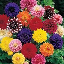 Dahlia - plantes-saisonnieres