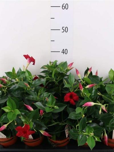Dipladenia - plantes-saisonnieres