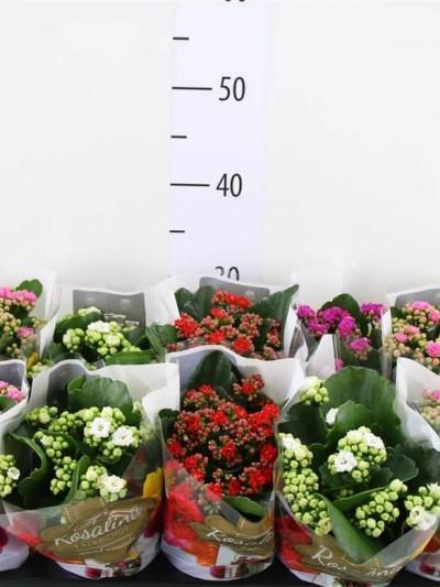 Kalanchoë - plantes-saisonnieres