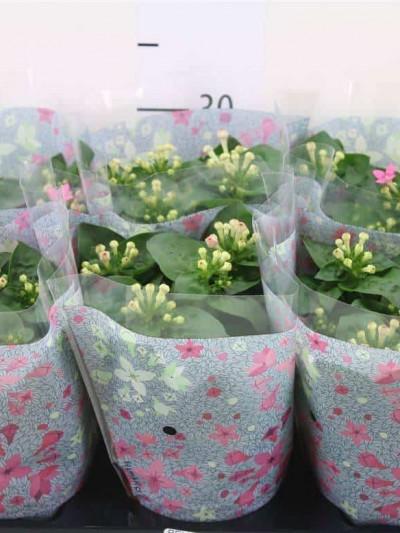 Bouvardia - plantes-saisonnieres
