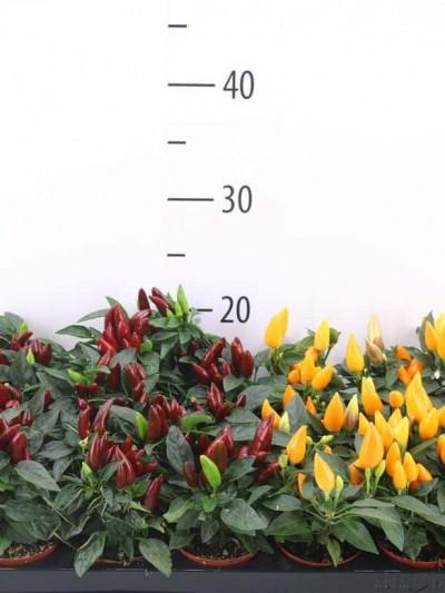 Piment décoratif - plantes-saisonnieres