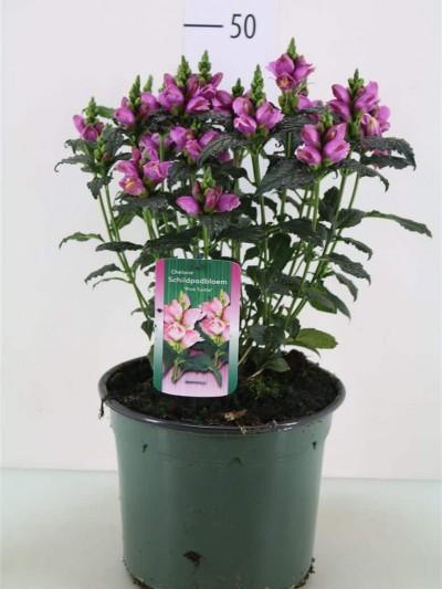 Chelone Oblique - plantes-vivaces