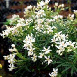Choisya white Dazzler ® - arbustes-fleurs