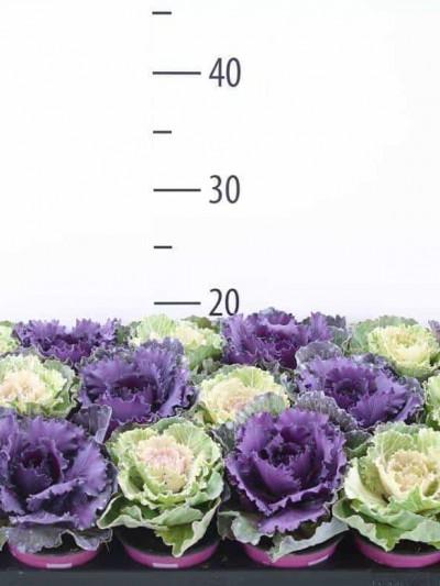 Choux d'ornement - plantes-saisonnieres