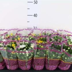 chrysantheme-mini