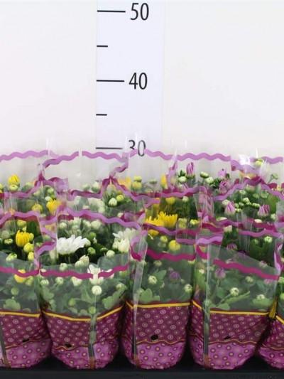 Chrysanthème mini - plantes-saisonnieres