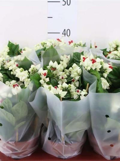 Clerodendrum - plantes-saisonnieres