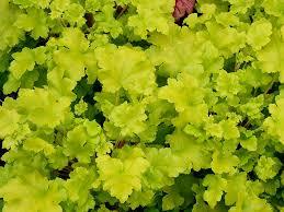 Heuchère lime Marmelade - plantes-couvre-sols