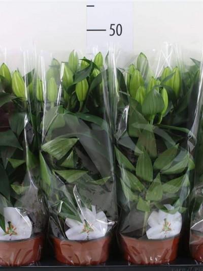 Lys oriental - plantes-saisonnieres