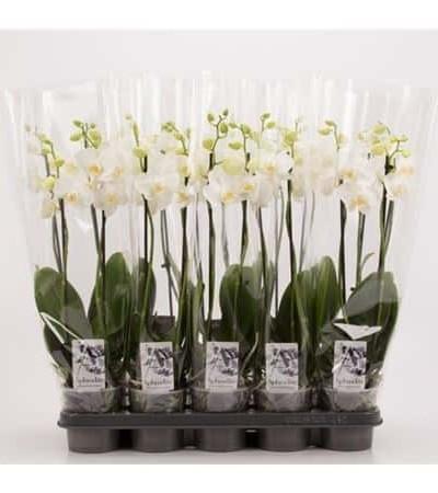 Orchidée Phaléanopsis blanche - plantes-interieur