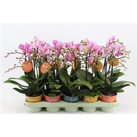 Orchidée Phaléanopsis rose - plantes-interieur