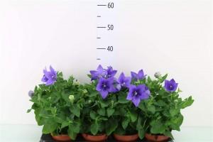 Platycodon - plantes-saisonnieres