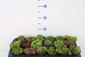 Joubarde, sempervivum - plantes-couvre-sols