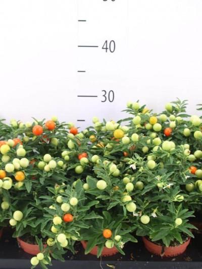 Solanum Pseudocapsic - plantes-saisonnieres