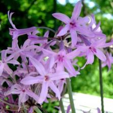 Tulbaghia violacea - plantes-mediterranneennes
