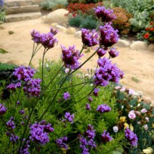 Verveine de buenos aires - plantes-vivaces