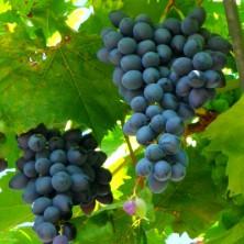 Vigne greffée muscat de Hambourg - petits-fruitiers