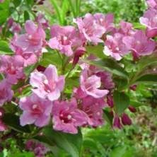 Weigélia Florida - arbustes-a-fleurs-de-printemps