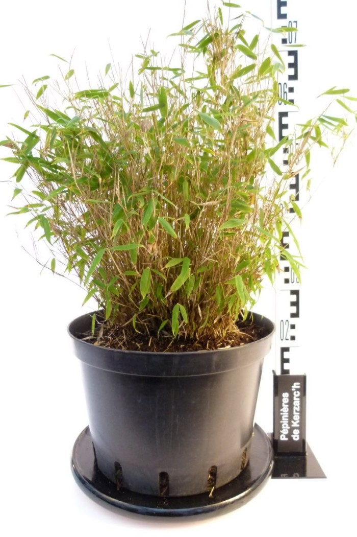 Bambou fargesia Murielae en pot