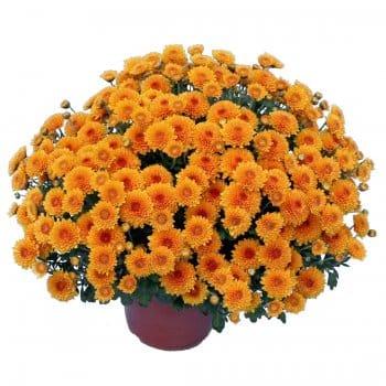 Chrysanthème pompon orangé