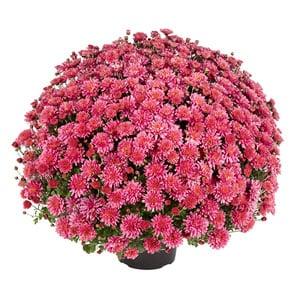 Chrysanthème pompon rose