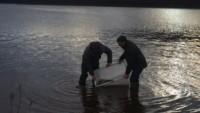 reempoissonnement lac guerledan