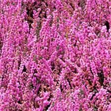 Bruyère Calluna vulgaris Rose - plantes-de-terre-de-bruyere