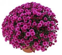 Chrysanthème pompon - plantes-saisonnieres