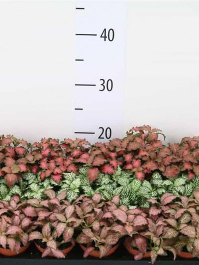 Fittonia - plantes-saisonnieres
