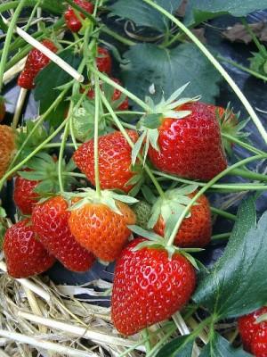 fraisier charlotte pas cher