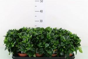 Gardenia - plantes-saisonnieres